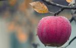 Сонник яблоки видеть много