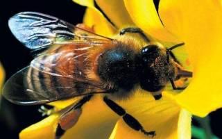 Много пчел во сне сонник