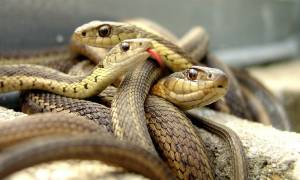 Ходить по змеям во сне сонник