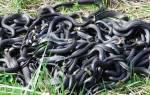 К чему снится клубок змей женщине сонник