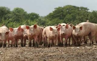 К чему снится свинья живая сонник