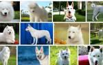 К чему снится маленькая белая собачка сонник