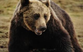 К чему снится бурый медведь девушке сонник