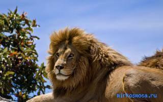 Видеть во сне льва сонник