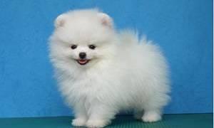 Белый щенок во сне сонник