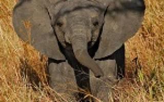 К чему снится маленький слон сонник