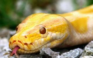 Видеть во сне желтую змею сонник