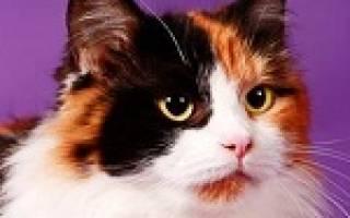 К чему снится трехцветный котенок сонник
