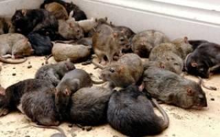 Видеть во сне крыс и мышей много сонник