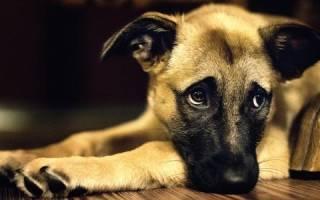 К чему снится плачущая собака сонник