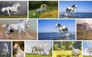 К чему снится белая лошадь девушке сонник