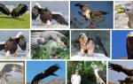 Сонник большая птица