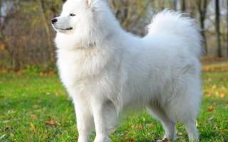 Сон белая собака для девушки сонник