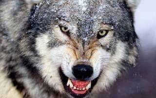 К чему снятся волки женщине сонник