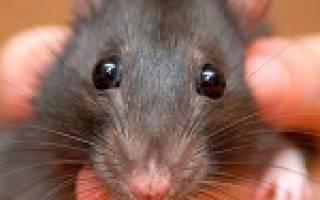 К чему снится укус крысы за ногу сонник
