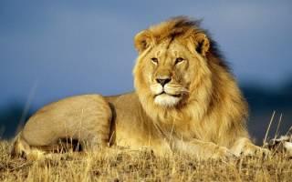 К чему снится лев мужчине сонник