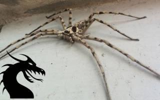 К чему снится паук большой сонник