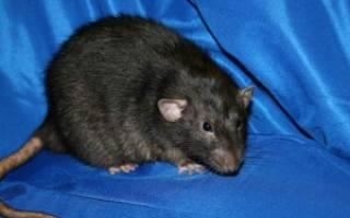 Видеть во сне крысу живую к чему сонник